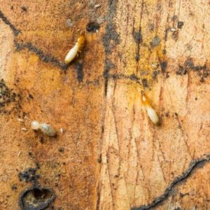 Visible evidence of termites presently destroying wood of a home.